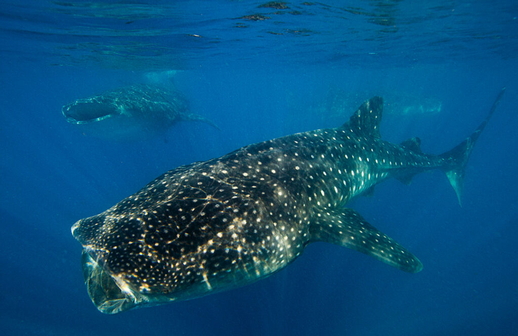 Tiburón ballena en WatchTime México